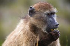Baboon I