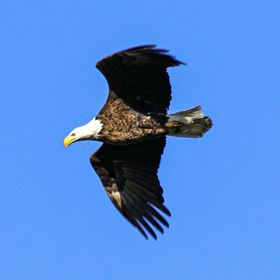 Bald Eagle Photographed at Pickerington Ponds Fairfield County Ohio