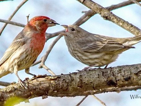 How to Tell a Purple Finch and House Finch Apart