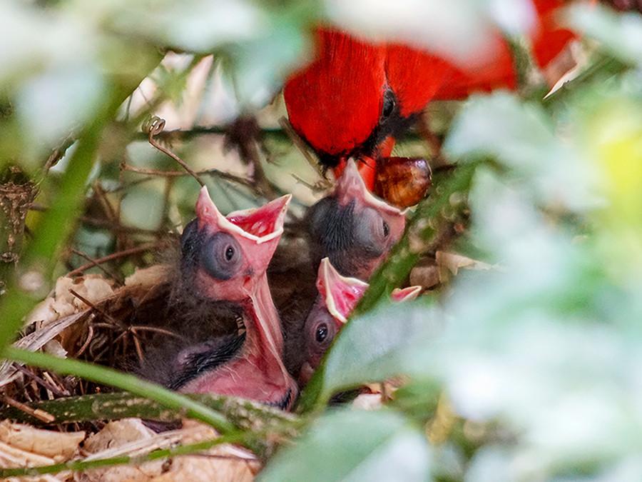 Male Cardinal Feeding Baby Birds Bird Watching in Ohio