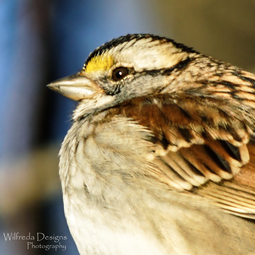 Close-up of White-Throated Sparrow in Ohio