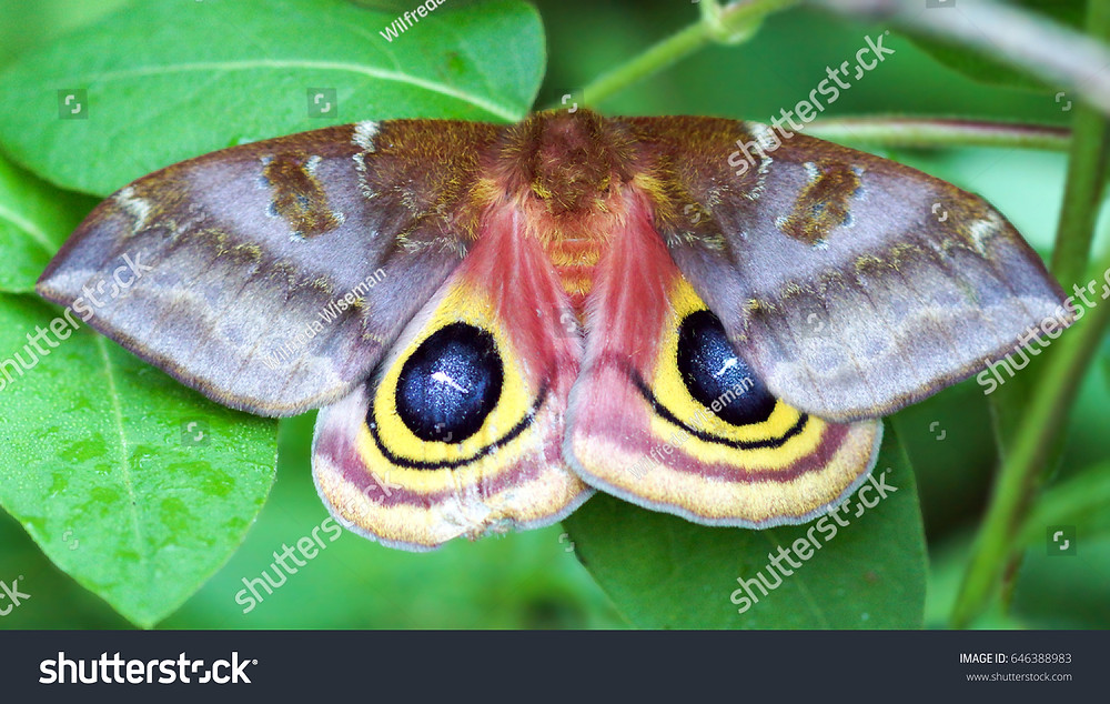 Large Moth with Eye Spots