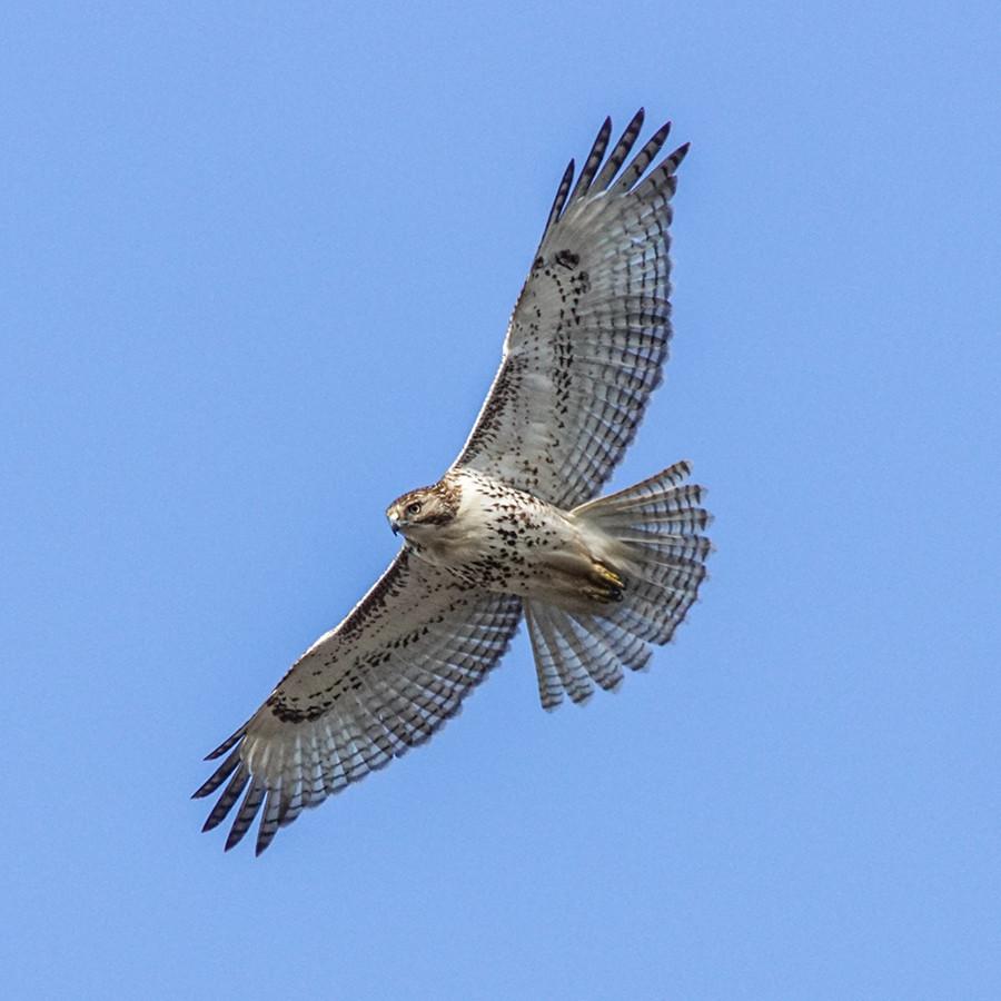 Juvenile Red-tailed Hawk Ohio Bird