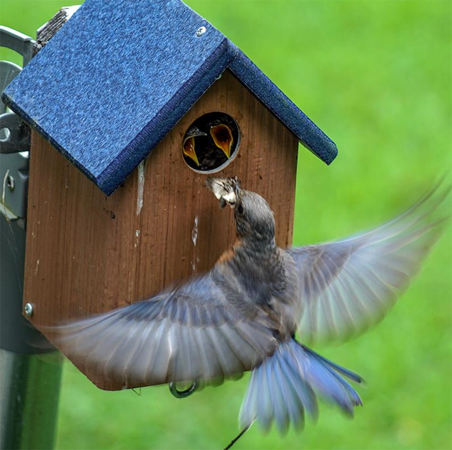Female Eastern Bluebird Feeding Nestlings Ohio Birding