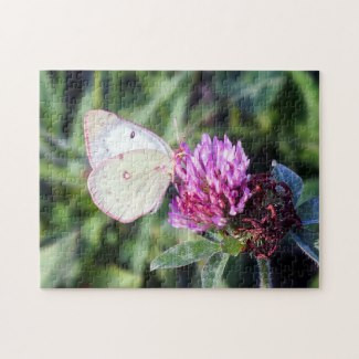 common_sulphur_butterfly_on_red_clover_p