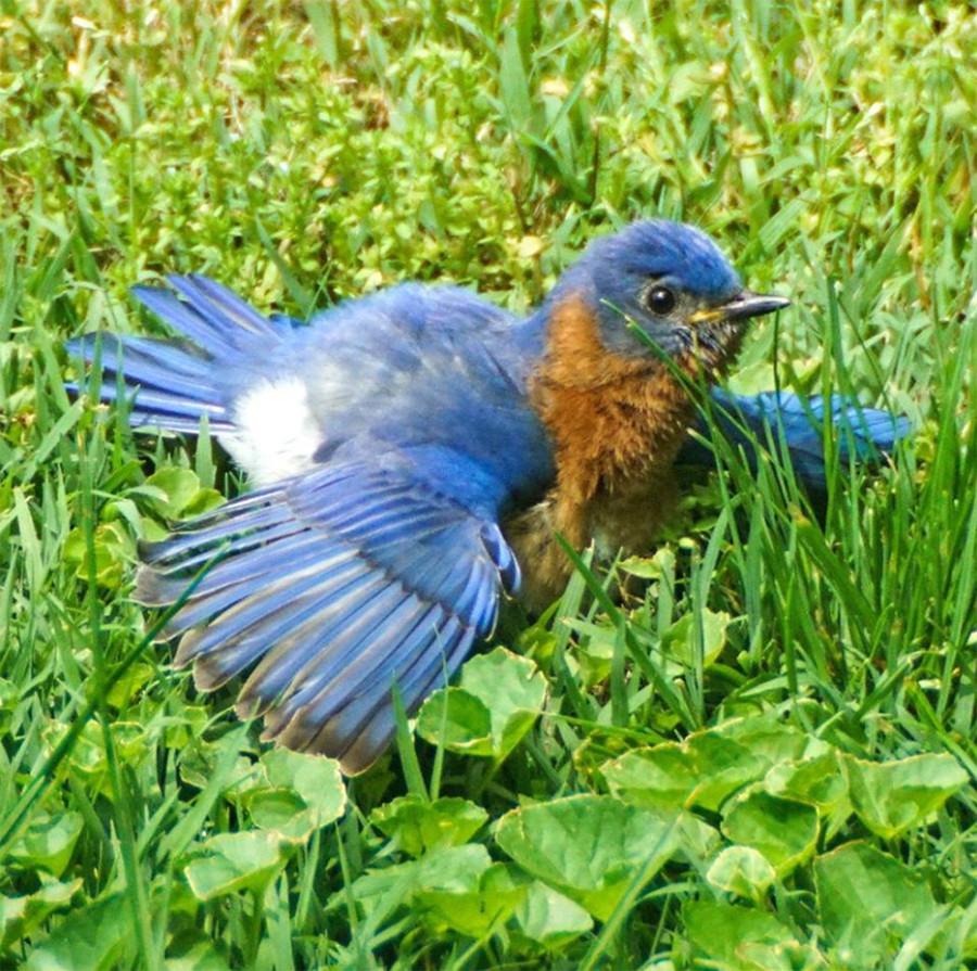 Male Eastern Bluebird Sunning Itself in Ohio