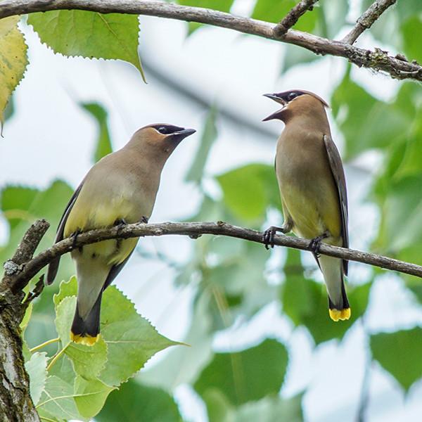Cedar Waxwings Free Ohio Birding Checklist