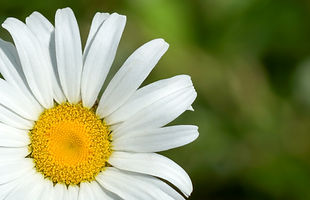 Offset Daisy Flower