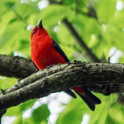 Birding in Ohio Male Scarlet Tanager in Breeding Plumage