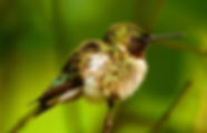 Ruby Thorated Hummingbird
