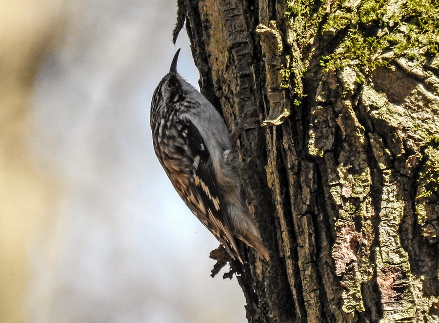 Brown Creeper bird spotted at Spring Valley Nature Preserve located in Granville Ohio