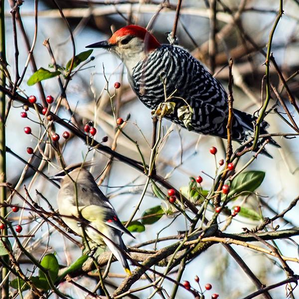 Ohio Birding Cedar Waxwing and Male Red-Belled Woodpecker