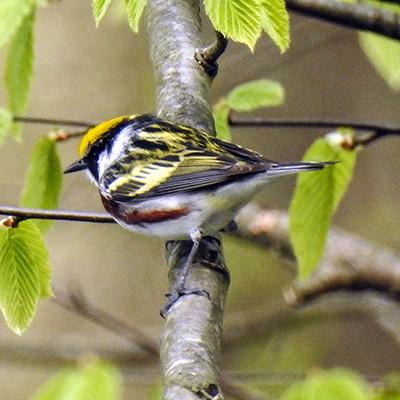 Male Chestnut Sided Warbler Free Ohio Bird Checklist