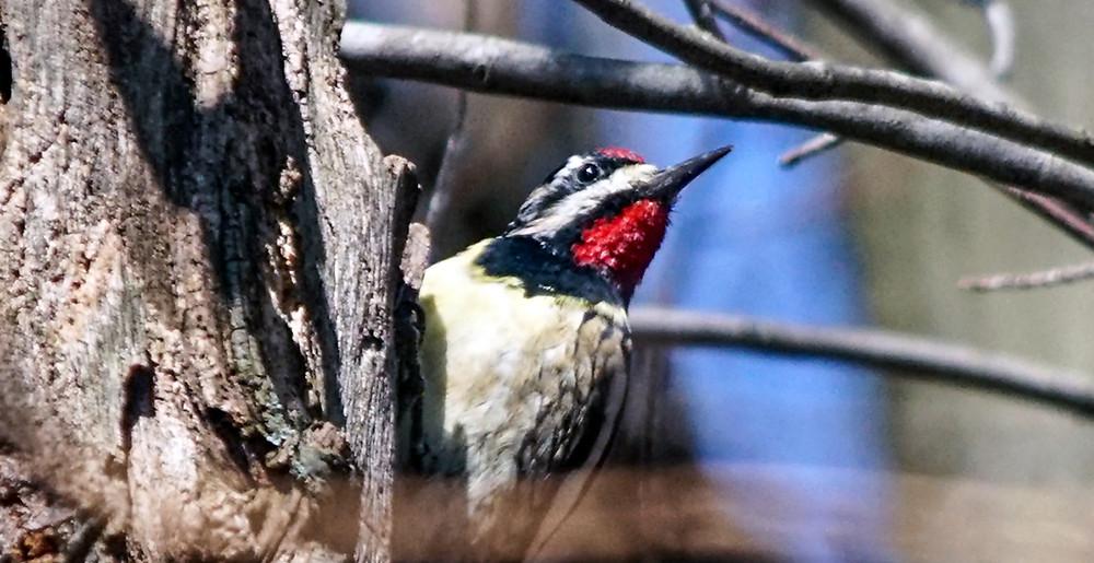 Male Yellow-Bellied Sapsucker Ohio Birdwatching