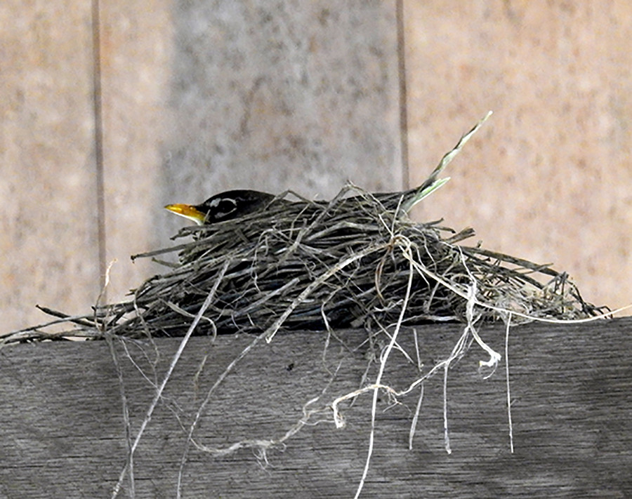 American Robin in Nest at Hannaway Covered Bridge Two Glaciers Park Fairfield County Ohio