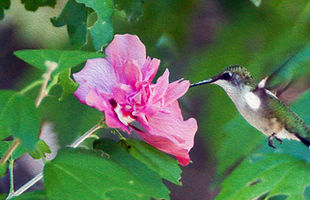 Ruby Throated Hummingbird Feeding on Rose Of Sharon Flower