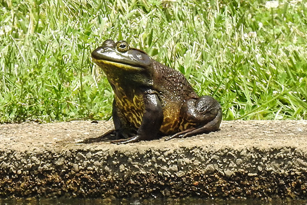 Large Bullfrog at Ariel-Foundation Park in Mount Vernon Ohio