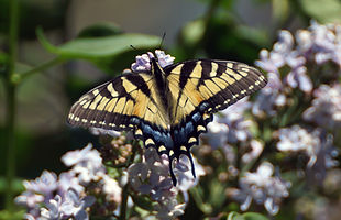 Tiger Swallowtail Butterfly on a Lilac Bush