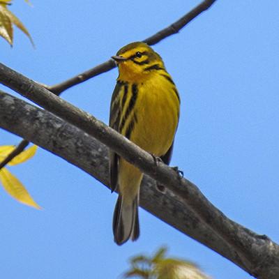 Male Prairie Warbler Free Printable Ohio Bird Checklist