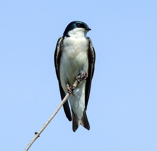 Tree Swallow at Scioto Audubon Metro Park