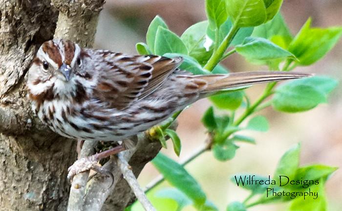 Song Sparrow Bird Watching in Ohio