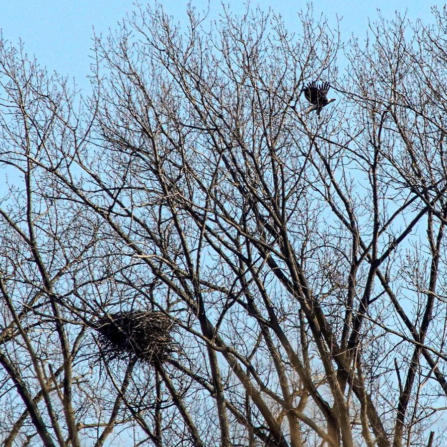 Bald Eagle Flying Away From Nest at Pickerington Ponds Fairfield County Ohio