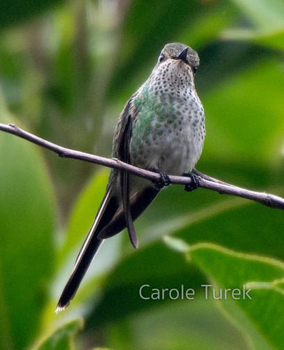 Female Green-tailed Trainbearer