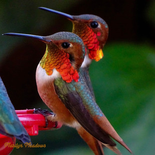 Male Allen's Hummingbirds