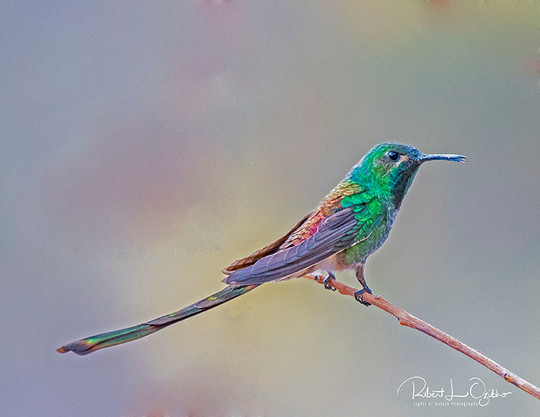 Red-tailed Comet, Sappho sparganurus, ma