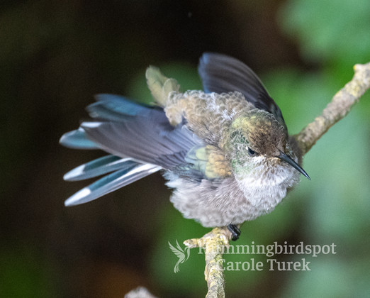 Colibrí del Chimborazo