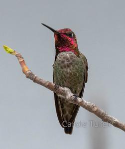 Male AColibrí de Annanna's Hummingbird