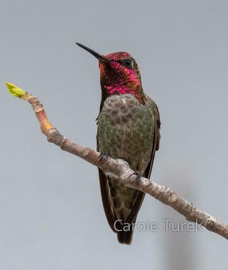 Male Anna's Hummingbird