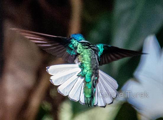 Colibri nuquiblanco