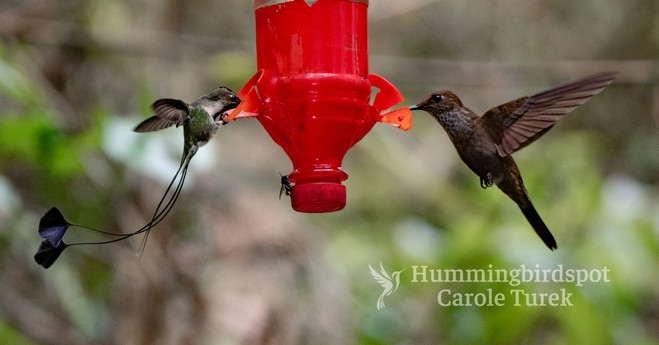 Marvelous Spatuletail and Bronzy Inca at
