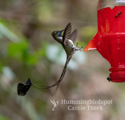 Marvelous Spatuletail Coming in for a La