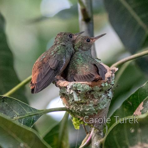 Rufous-tailed Hummingbird Nest