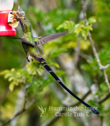 Male Black-tailed Trainbearer