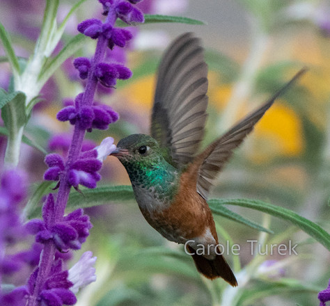 Amazilia Hummingbird