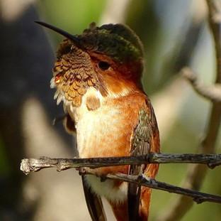 Male Allen's Hummingbird