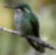 Green-breasted Mountain-gem