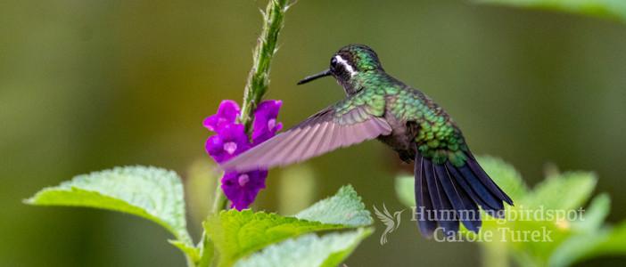 Purple-throated Mountaino-gem