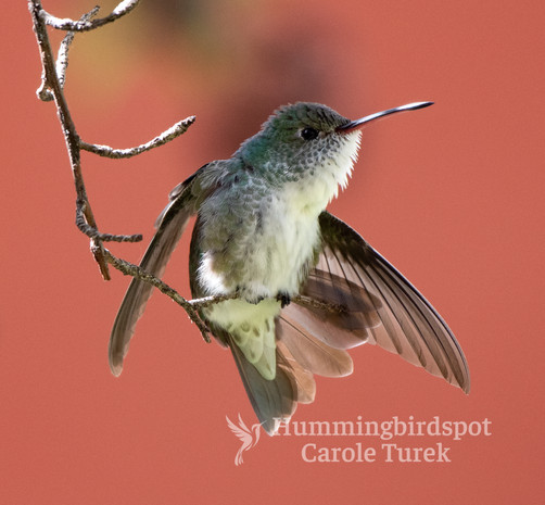 White-bellied
