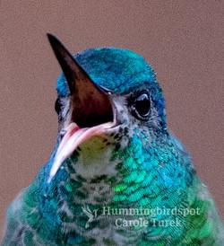 Blue-tailed Emerald Female