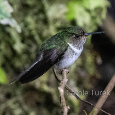 Ecuadorian Piedtail