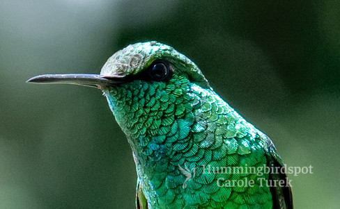 Short-tailed Emerald