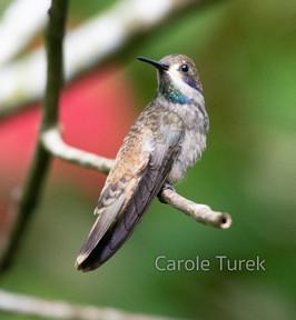 Brown Violetear Hummigbird