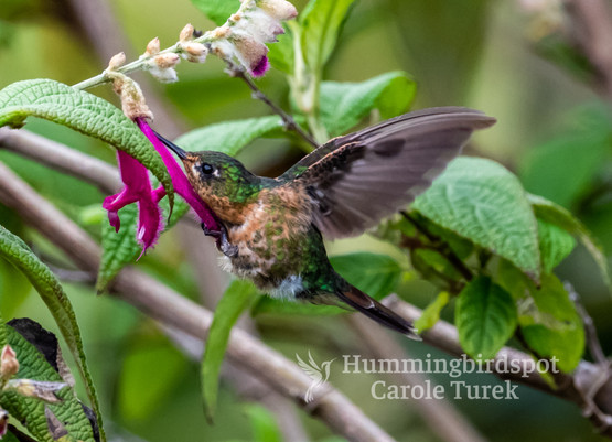 Tyrian Metaltail Female