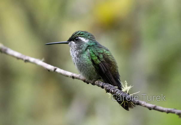 Green-breasted Mountain Gem Hummingbird