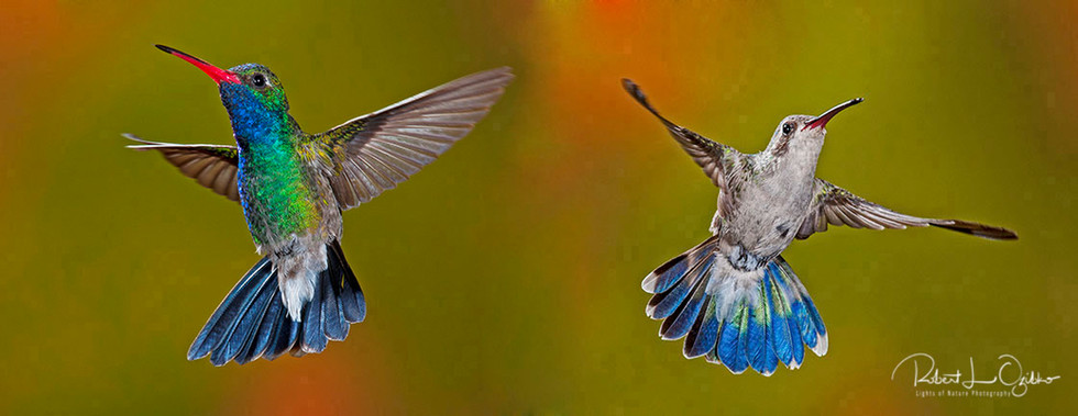 Broad-billed Hummingbirds, male (left) and female (right)