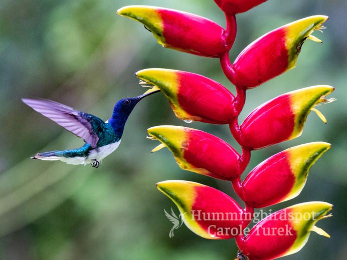 Colibri nuquiblancí